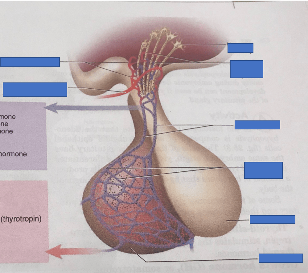 hight resolution of figure 25 2 a pituitary gland overview of the pituitary gland diagram quizlet