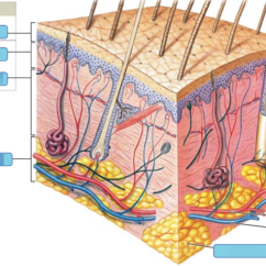 Integumentary System Diagram Labeled Ammeter Gauge Wiring Art Labeling Activity Components Of The Part Location