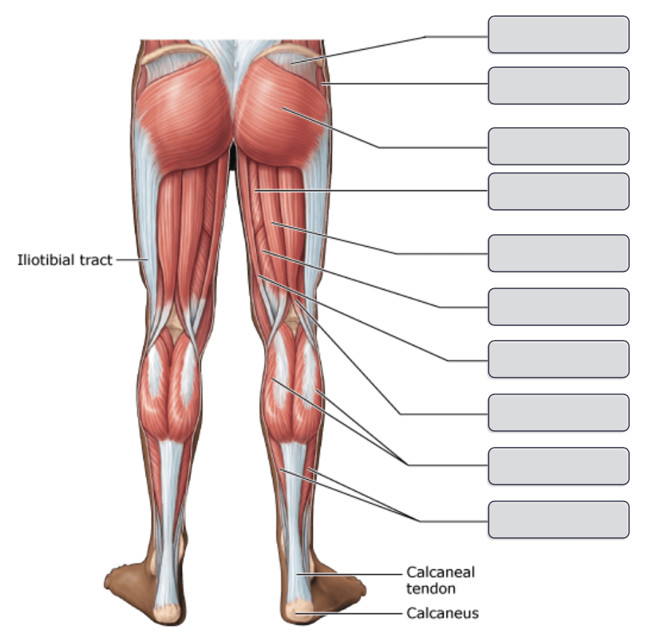 medium resolution of an overview of the major skeletal muscles posterior view part 2