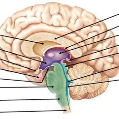Brain Diagram Inside Mains Powered Smoke Alarm Wiring 3 1 Central Nervous System The Flashcards Identify Letter A