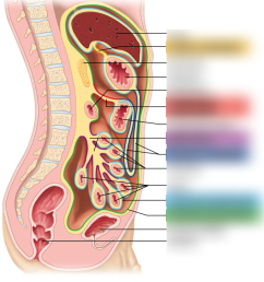 lesson 8 peritoneal attachments of the abdominal organs diagram quizlet [ 891 x 1024 Pixel ]