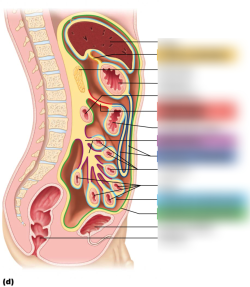 small resolution of lesson 8 peritoneal attachments of the abdominal organs diagram quizlet