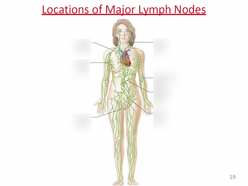 hight resolution of terms in this set 7 thoracic lymph node