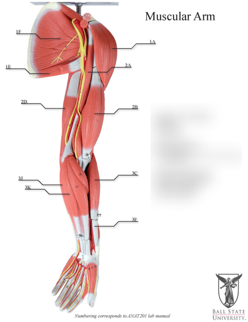 small resolution of diagram of arm musles wiring diagram datasource diagrams of arm muscles lateral view diagram of arm musles