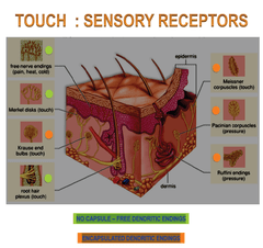 diagram of the tongue showing taste buds 2002 nissan sentra se r radio wiring special senses (pt. 2) flashcards | quizlet