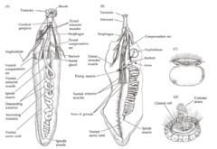 Chapter 13 &14: Annelids, sipunculans & others Flashcards