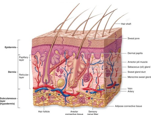skeletal muscle labeled diagram print solar light wiring tdshlxusvd8hlv4wowoatg.jpg