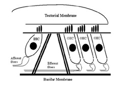 3400-Test 4-CM 22-Physiology of Cochlea II flashcards