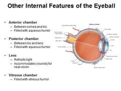 Anatomy H&N 7 - Eye Flashcards   Quizlet
