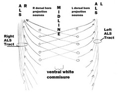The Spinal Cord: The Spinal Cord Begins At The Quizlet