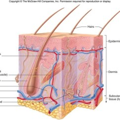 Integumentary System Diagram Labeled Structured Wiring Chapter 5: Flashcards | Quizlet