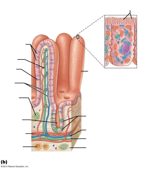small resolution of diagram of small intestine