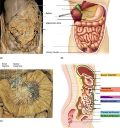 diagram of mesentery peritoneum [ 875 x 1024 Pixel ]