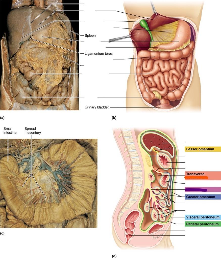 medium resolution of diagram of mesentery peritoneum