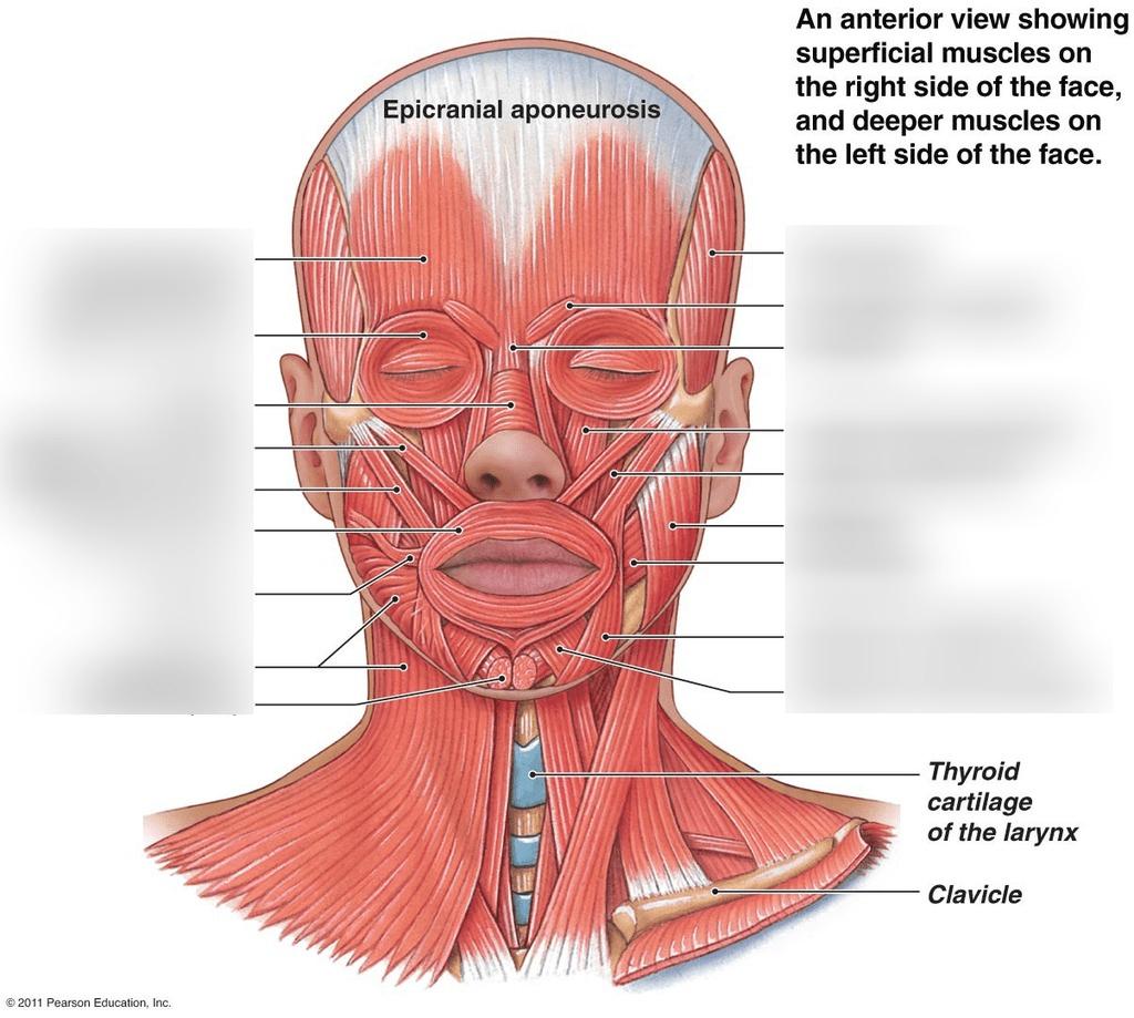 hight resolution of inside face diagram data diagram schematic inside of face diagram