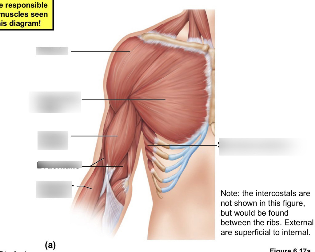 hight resolution of anatomy chest and upper arm muscles