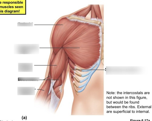 small resolution of anatomy chest and upper arm muscles