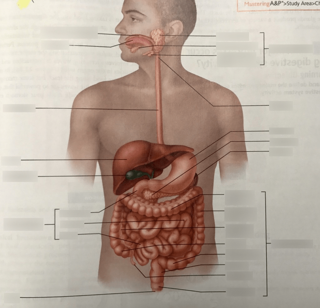 hight resolution of alimentary canal and related accessory digestive organs diagram quizlet