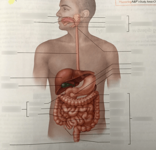 small resolution of alimentary canal and related accessory digestive organs diagram quizlet
