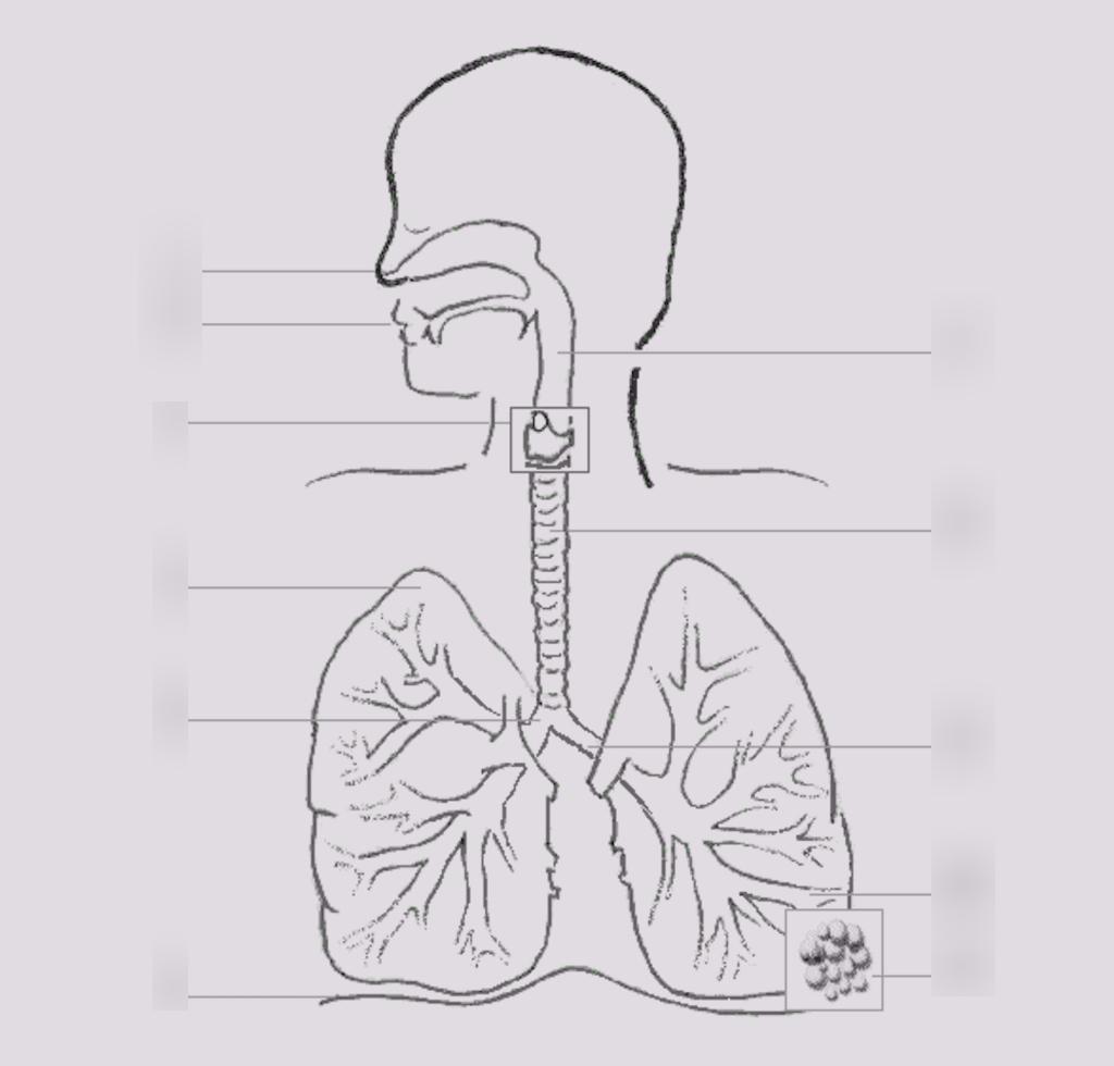 Respiratory System Diagram Quiz
