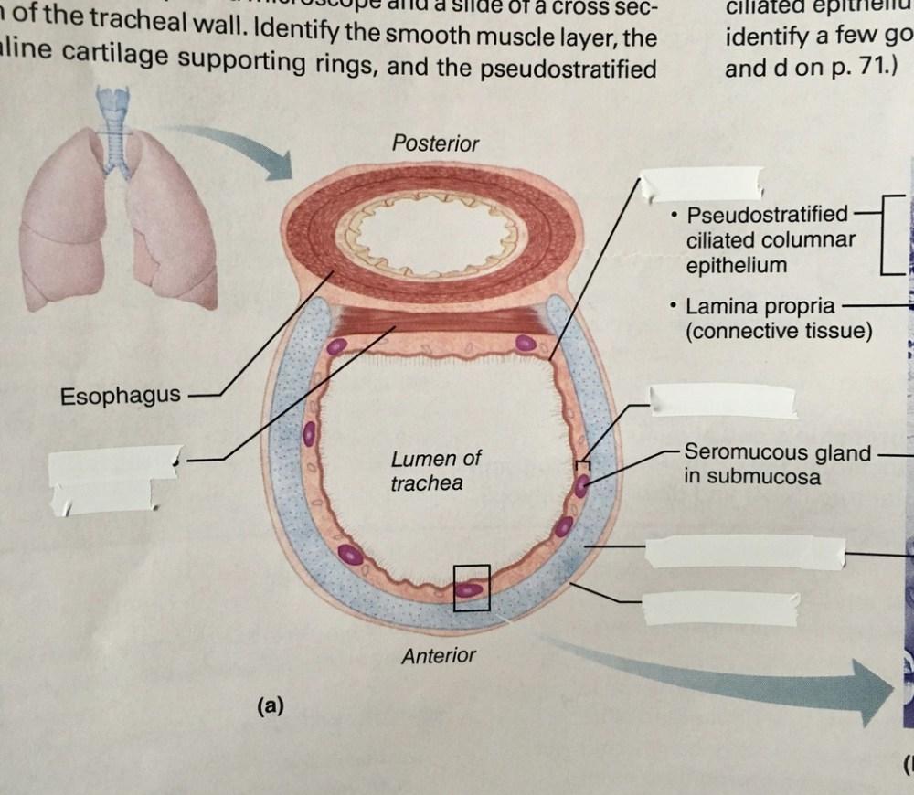 medium resolution of tissue of trachea diagram quizlet