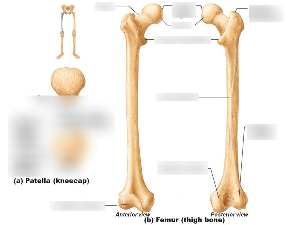 hight resolution of femur and patella
