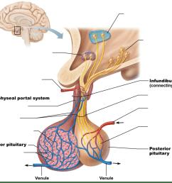 pituitary gland diagram [ 1024 x 913 Pixel ]