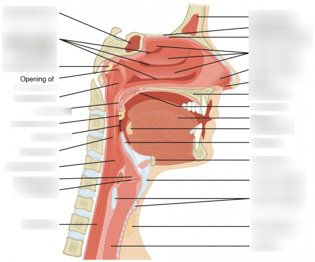 hight resolution of diagram of pharynx