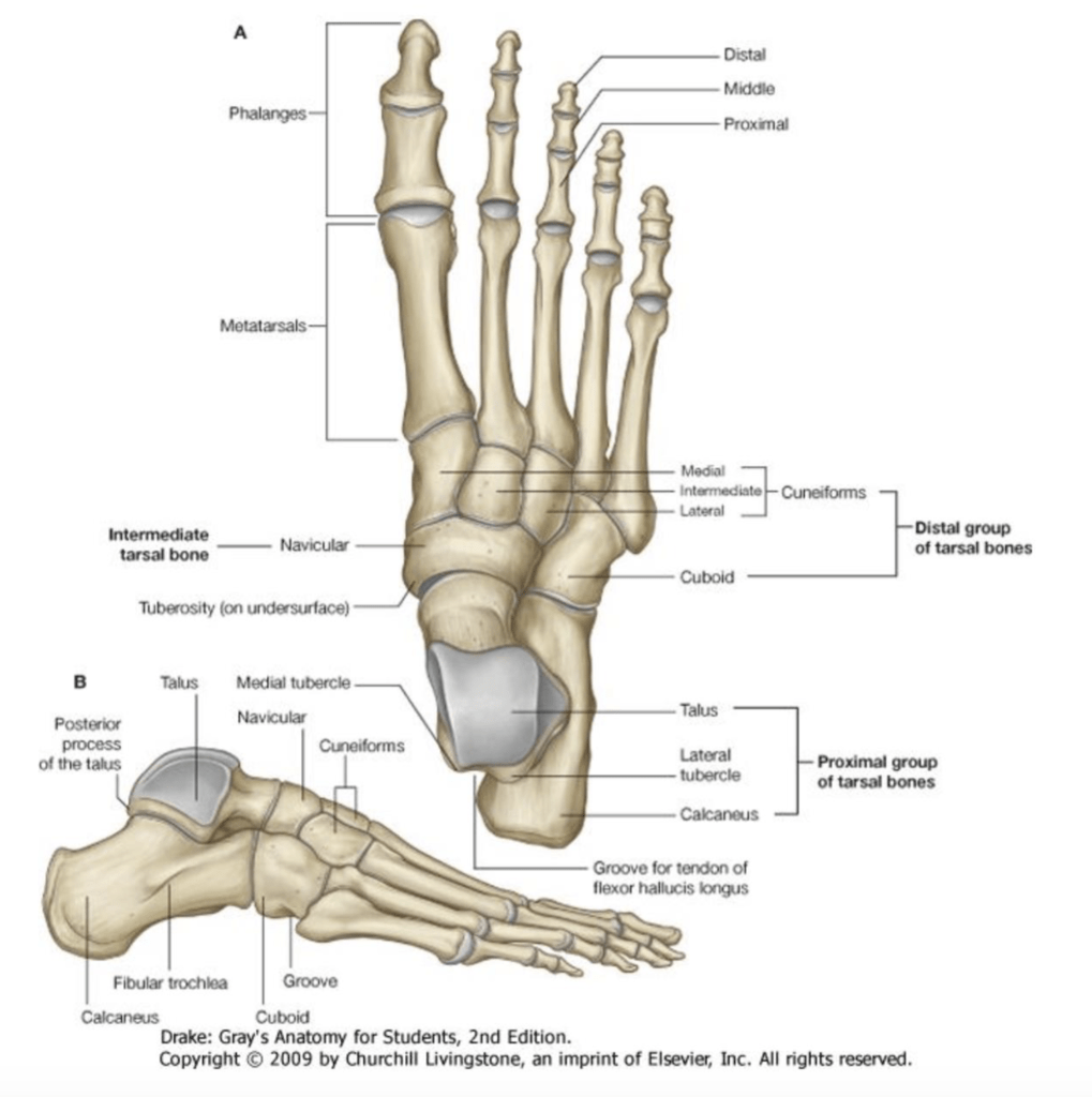 joints of the foot diagram 2001 ford focus fuse box week 10 anatomy 2 quizlet location