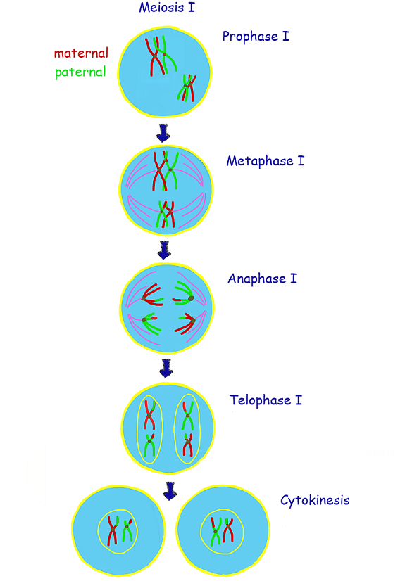 meiosis 1 diagram 2001 dodge durango radio wiring quizlet location