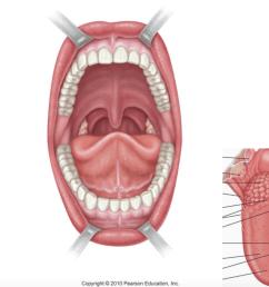 diagram oral cavity [ 1024 x 781 Pixel ]