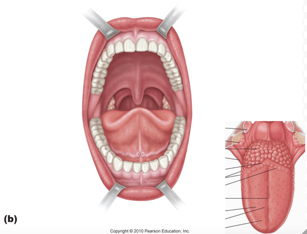 hight resolution of diagram oral cavity