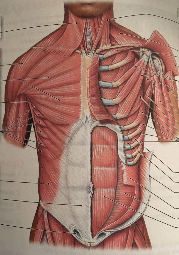 diagram of rib cage and muscles bmw e46 wiring radio for movement quizlet