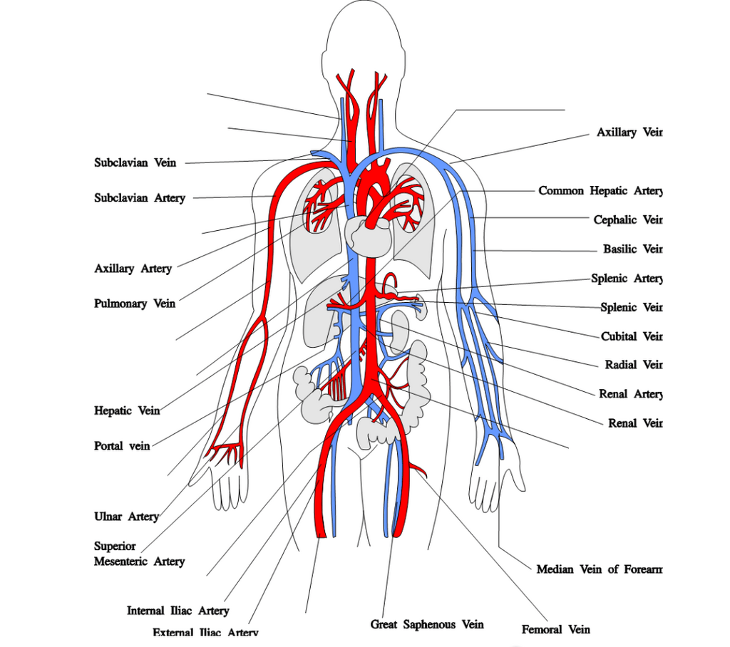 hight resolution of major arteries of the body