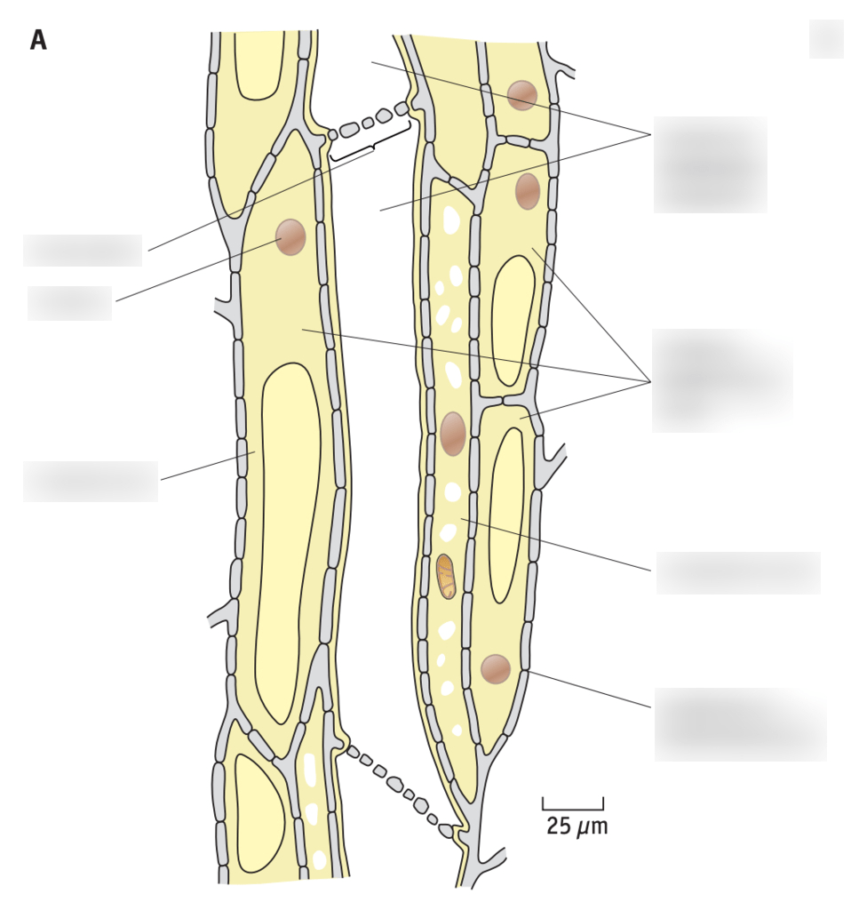hight resolution of phloem diagram