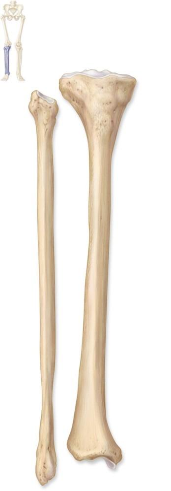 tibia and fibula blank diagram quell smoke alarm wiring online knee joint figure 8 13 quizlet leg bones