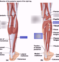 phyl141l muscles of the posterior aspect of the right leg diagram quizlet [ 1024 x 778 Pixel ]