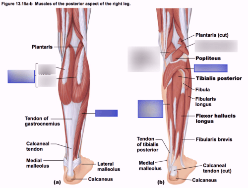 small resolution of phyl141l muscles of the posterior aspect of the right leg diagram quizlet