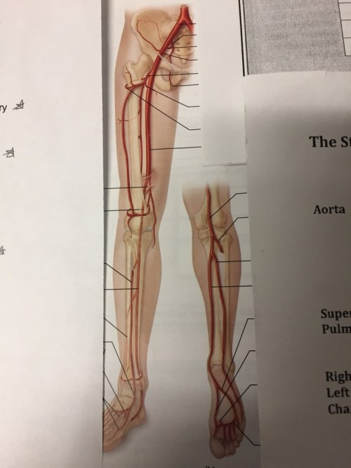 small resolution of leg artery diagram of the right