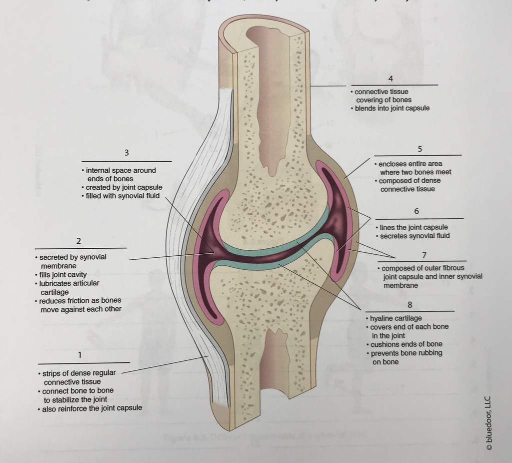 hight resolution of synovial joint