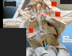 Vein Diagram With 3 The Complete Fetal Pig Review Set Flashcards Quizlet