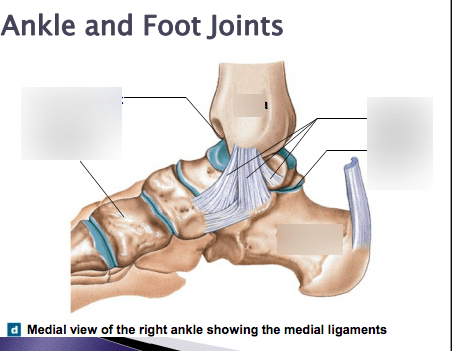 joints of the foot diagram perko battery selector switch wiring ankle and quizlet location term subtalar joint
