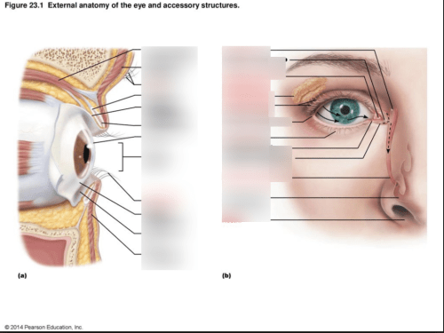 small resolution of quiz 1 the eye and accessory structures 23 1