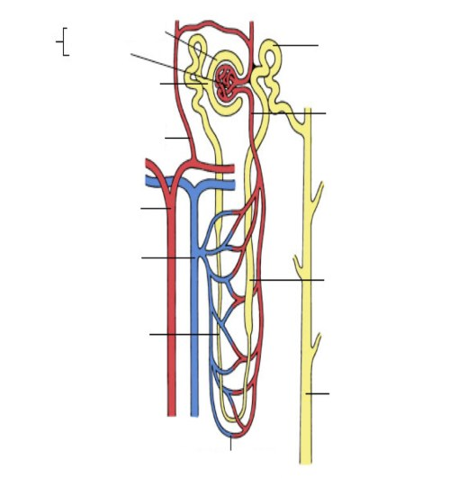 small resolution of diagram of nephron w key