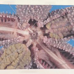 Octopus Water Vascular System Diagram Nissan Pathfinder Engine Sea Star Quizlet Location