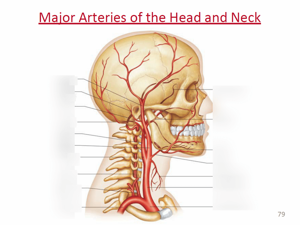hight resolution of part of the neck diagram