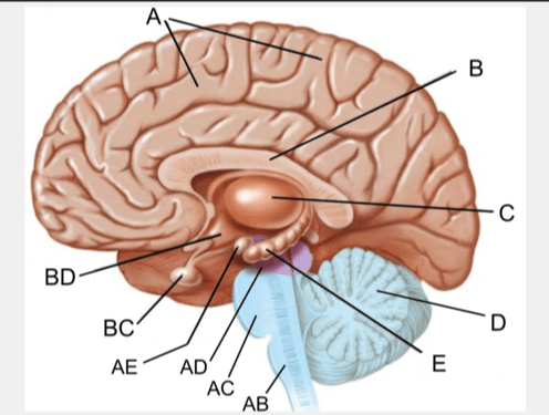 internal brain diagram great white shark life cycle chapter 2a structure location and function