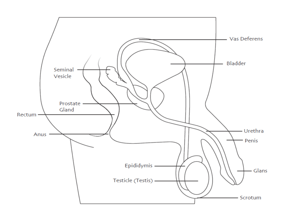 hight resolution of lower abdominal scrotum diagram