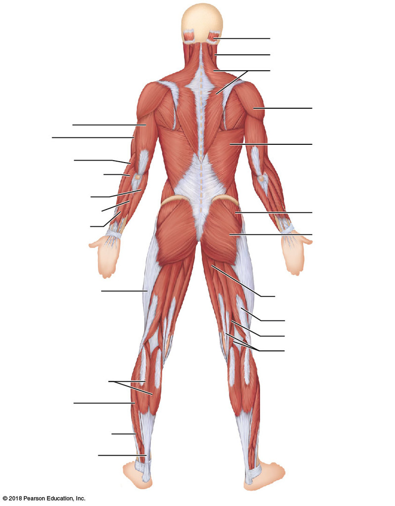 hight resolution of major superficial muscles of the posterior surface of the body
