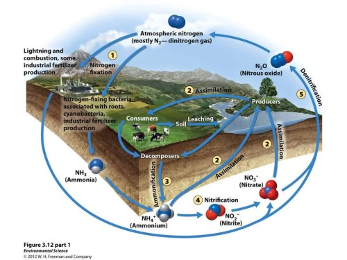 small resolution of apes nitrogen cycle